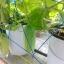 อบรมปลูกผักไฮโดรอย่างมืออาชีพ thumbnail 4